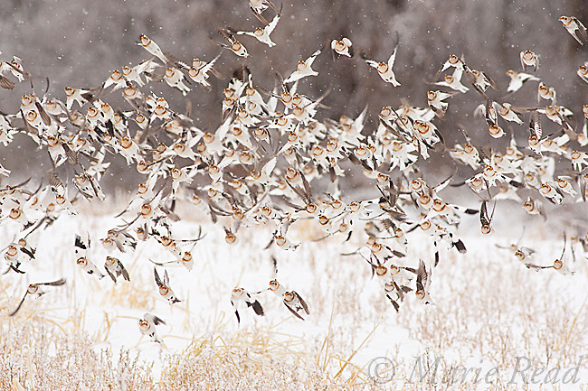 Snow Buntings (Plectrophenax nivalis) flock in flight over an ice-covered field in winter, New York, USA