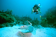 underwater photographer and southern stingray, Dasyatis americana, Fowl Cay, Great Abaco, Bahamas, Atlantic Ocean