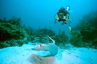 underwater photographer and southern stingray, Dasyatis americana, Fowl Cay, Great Abaco, Bahamas, Atlantic Ocean