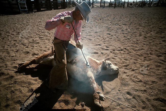 Thurston Comstock, cowboy, brands a steer during a cattle drive. Arizona, United States, November 1975.