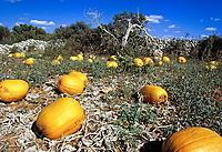 ESP, Spanien, Balearen, Menorca, Feld mit Kuerbissen | ESP, Spain, Balearic Islands, Menorca, pumpkins, field