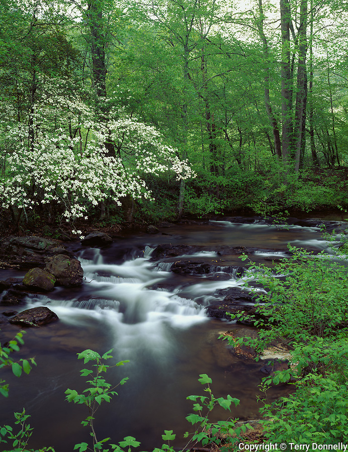 Chattahoochee National Forest, GA<br /> Flowering Dogwood (Cornus florida) over the Chesatee River in early spring