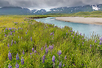 Lupin wildflower meadow along a river draining out of the Aleutian mountain range, Katmai National Park, Alaska Peninsula, southwest Alaska.