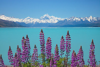 Purple lupins on the edge of Lake Pukaki looking up to Aoraki / Mt Cook, Canterbury, New Zealand - stock photo, canvas, fine art print