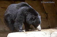 0326-1003  Sloth Bear (Labiated Bear), Melursus ursinus  © David Kuhn/Dwight Kuhn Photography.