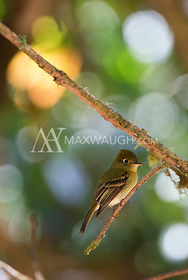 A yellowish flycatcher seen near Savegre.