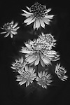 A cluster of Astrantia blossoms in black and white.