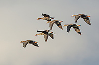 A small group of greater white-fronted geese fly into the sun on a late afternoon at Klamath.<br />