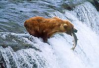 Grizzly bear, Ursus arctos middendorffi, catching salmon at Brooks Falls, Katmai National Park, Alaska, USA