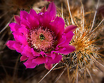 Hedgehog Cactus, Cave Creek Canyon, Arizona