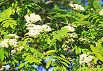 White flowers and leaves of rowan tree, Mountain Ash or Sorbus aucuparia, Suffolk Sandlings, England, UK