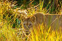 Female lion walking through the bush, Kwara Camp, Okavango Delta, Botswana.
