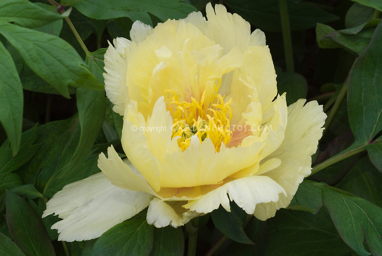 Peonies Paeonia x Oriental Gold  intersectional hybrid peony yellow flowers
