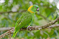 Yellow-naped Parrot or Yellow-naped Amazon Parrot (Amazona auropalliata).  Found in Central America.  This on photographed in Costa Rica.