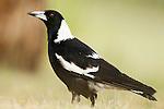 Australian Magpie (Gymnorhina tibicen) female, Canberra, Australian Capital Territory, Australia