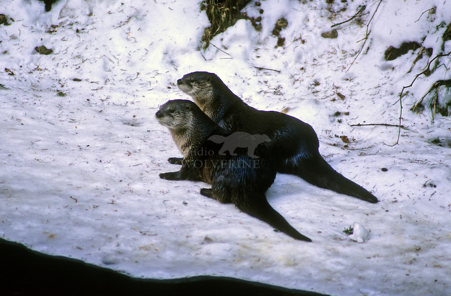 Amerikaanse otter (Lutra canadensis)