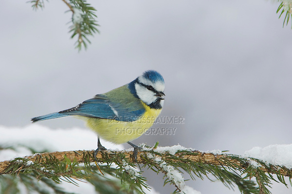 Blue Tit, Parus caeruleus, adult on sprouse branch with snow, Oberaegeri, Switzerland, Dezember 2005