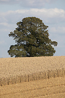 Field of wheat<br /> ©Tim Scrivener Photographer 07850 303986<br />      ....Covering Agriculture In The UK....