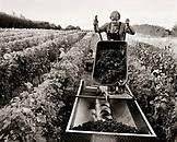 AUSTRIA, Morbisch, dumping harvested grapes into a vat, Schindler Vineyard, Burgenland (B&W)