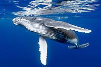 Kingdom of Tonga, Vava'u, Humpback whale (Megaptera novaeangliae) calf underwater
