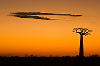 Silhouette of a grandidier's baobab at dusk