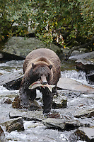 A photo of a grizzly with a salmon in its mouth walking over rocks in a river. Grizzly Bear or brown bear alaska Alaska Brown bears also known as Costal Grizzlies or grizzly bears