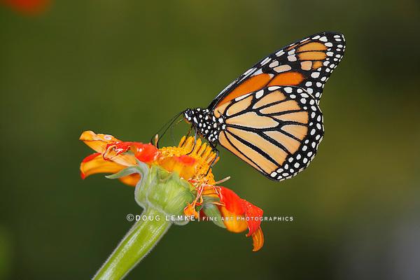 Monarch Butterfly On An Orange Flower, Danaus plexippus
