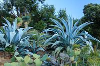 Domaine du Rayol en novembre : le jardin d'Amérique aride, oponce, agaves, Dasylirion et Yucca rostrata