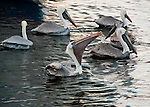 A group of pelicans works on their fishy meals, taken from a fish cleaning station.  Tarpon Springs, Florida, USA.