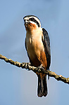 Collared Falconet, Microhierax caerulescens, Corbett National Park, Uttarakhand, Northern India.India....
