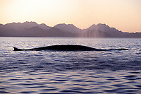 Adult Fin Whale, Balaenoptera physalus, surfacing in the midriff region of the Gulf of California, Sea of Cortez, Mexico, Pacific Ocean