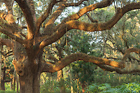 A picturesque oak tree in the gardens of Washington Oaks State Park.