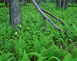 Shenandoah National Park, VA<br /> White flowering poison (Amianthium muscaetoxicum) and hay scented ferns (Dennstaedtia punctilobula) covers the forest floor