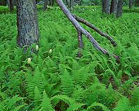 Shenandoah National Park, VA<br /> White flowering poison (Amianthium muscaetoxicum) and hay scented ferns (Dennstaedtia punctilobula) covers the forest floor