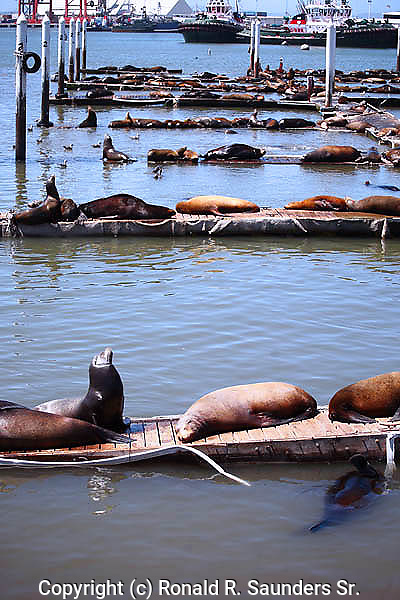 Sea lions rest on platforms at Ensenada harbor. Baja California