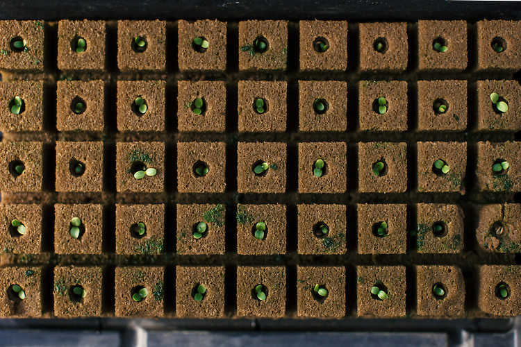 Raleigh, North Carolina - Thursday March 24, 2016 - Hydroponic lettuce sprouts begin to grow in a greenhouse at the Well Fed Community Garden in Raleigh.