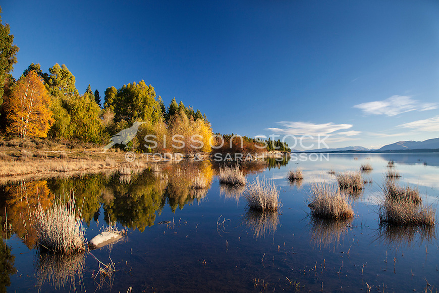 Autumn willow and birch trees reflected in Lake Pukaki, Mackenzie Basin, South Island NZ.