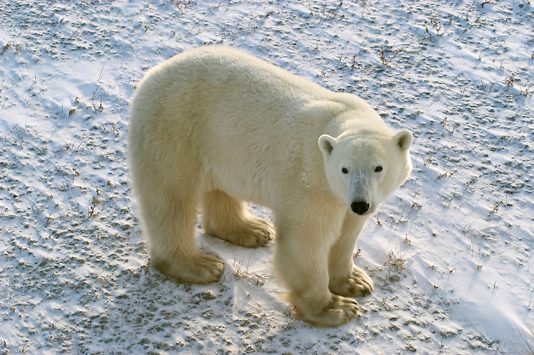 Photo: 20165..Canadas polar bear country around Churchill, Manitoba, at Gordon Point and nearby at Cape Churchill in Wapusk National Park on the south edge of Hudson Bay.  Photos of polar bears males, females, and cubs.  Fauna includes polar bears, arctic hares, and arctic foxes.  Landscapes of the tundra terrain and ice forming on Hudson Bay, plus sunrises and sunsets.  Polar bear viewing in Tundra Buggies while staying at the Tundra Buggy Lodge, operated by Frontiers North.  Photo copyright Lee Foster, 510-549-2202, lee@fostertravel.com, www.fostertravel.com.
