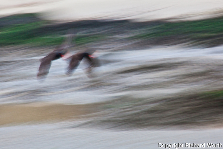 Their red bills identify two Black Oystercatchers flying, or floating dreamlike, at Pescadero State Beach.