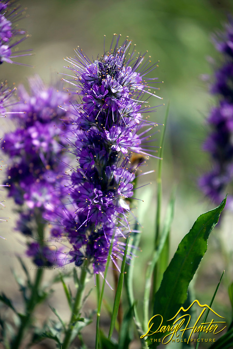 Silky Phacelia, wildflowers of Yellowstone