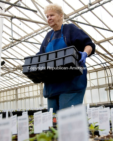 CHESHIRE CT. 07 April 2014-040714SV01-Carol DeRosa of Tower Farms plants Roma Tomato seedlings in the farms green house on Highland Avenue in Cheshire Monday. Soon gardeners across the state will be seeking plants for their summer gardens.<br /> Steven Valenti Republican-American