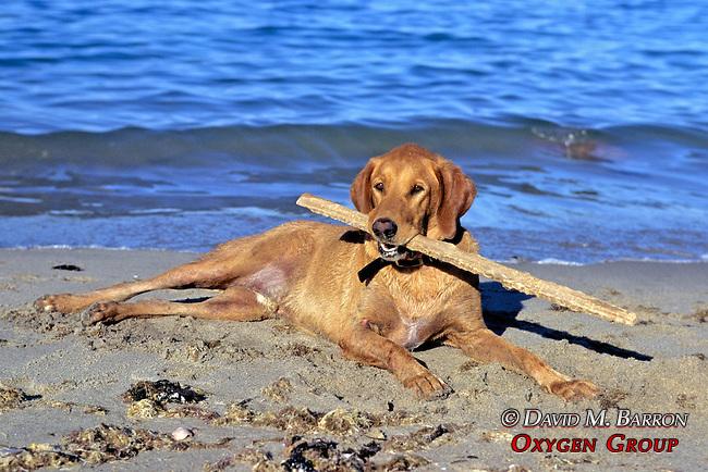 Red ( J.'s Dog ) On Beach