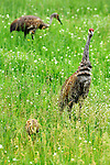 A trio of sandhill cranes feeding in a field in northern Wisconsin. The two parents took turns feeding the chick worms.