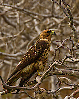A beautiful juvenile Galapagos Hawk perched in a tree intently watching. His gold and brown coloring is beautiful, as is the intensity in his eyes. What power!