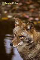 MA27-020z  Eastern Coyote - Canis latrans