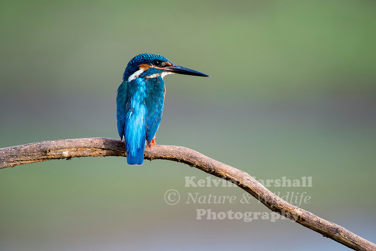 Common kingfisher (Alcedo atthis) also known as Eurasian kingfisher, or river kingfisher, is a small kingfisher with seven subspecies recognized within its wide distribution across Eurasia and North Africa. It is resident in much of its range, but migrates from areas where rivers freeze in winter. Habarana, Anuradhapura District  - Sri Lanka.