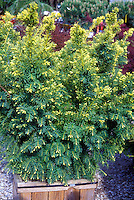 Taxus cuspida Dwarf Bright Gold in container