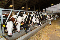Dairy heifers - Lincolnshire, March