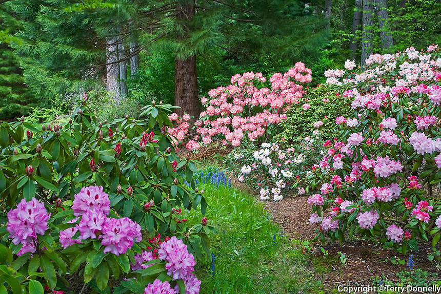 Vashon Island, WA<br /> Path in a Pacific Northwest forest garden featuring flowering rhododendrons