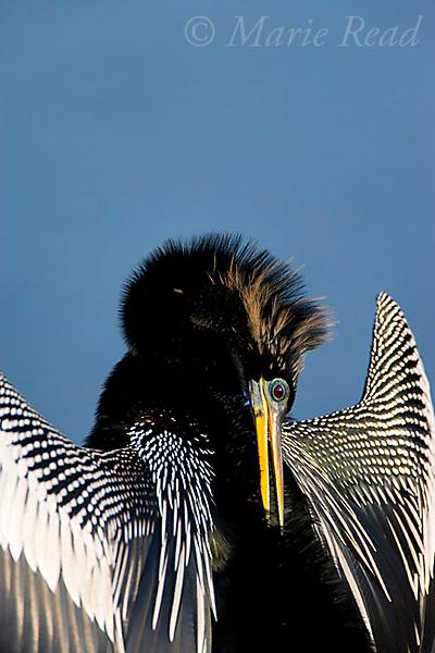 Anhinga (Anhinga anhinga) male in breeding plumage preening, Viera, Florida USA